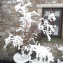 A Winters Acer (Acer palmatum (Japanese maple))