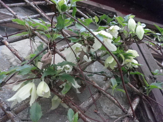 clematis cirrhosa - first flowers horay