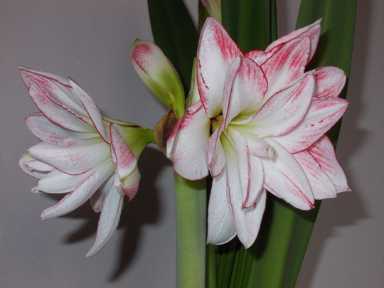 Amaryllis Close up