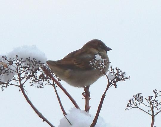 Sparrow on top of my snowy Hydrangea petiolaris