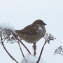 Sparrow on top of my snowy Hydrangea petiolaris