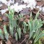Snowdrops almost out at my daughters yesterday.