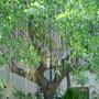 Kigelia africana - Sausage Tree and Pods (Kigelia africana - Sausage Tree)