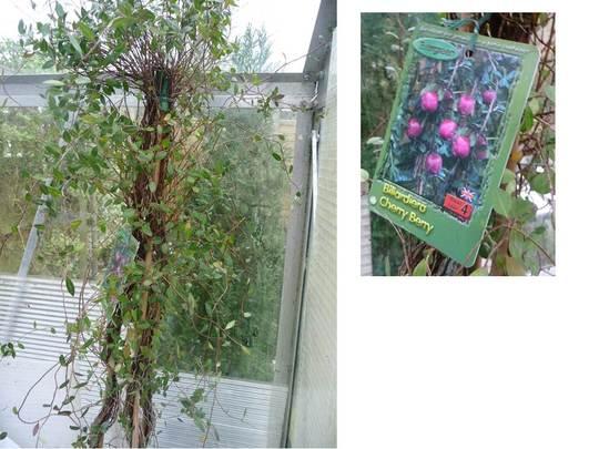 Billardiera 'Cherry Berry' (Billardiera longiflora)