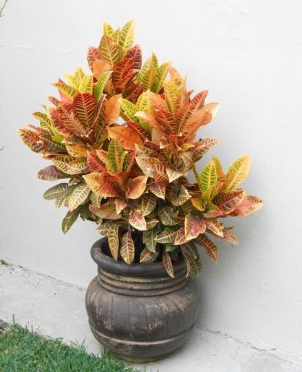 Codiaeum variegatum-variegated croton (Codiaeum variegatum)