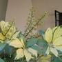 Schefflera arboricola Umbrella plant  (Schefflera arboricola)