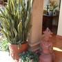Sansevieria trifasciata in the pot