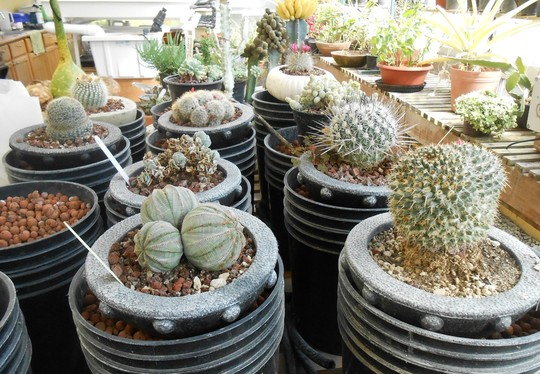 Cactus collector- for Hywel