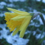 Narcissus &#x27;Rijnveldt&#x27;s Early Sensation&#x27; (Narcissus)