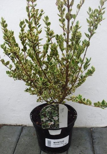 Myrtus Glanleam Gold (Myrtus)