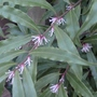 Sarcococca humilis - 2013 (Sarcococca humilis)