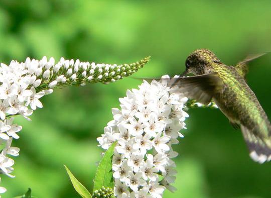 Gooseneck Loosestrife With Hummingbird (Lysimachia clethroides (Lysimachia))