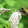 Gooseneck Loosestrife With Hummingbird (Lysimachia clethroides (Lysimachia))
