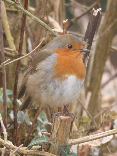 Robin At Arundel Wildlife and Wetlands.