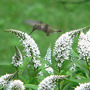 Hummer At Gooseneck Loosestrife (Lysimachia clethroides (Lysimachia))