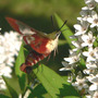 Hummingbird Clearwing (Moth) (Lysimachia clethroides (Lysimachia))
