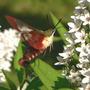 Hummingbird Clearwing (Moth) (Lysimachia clethroides (Lysimachia))