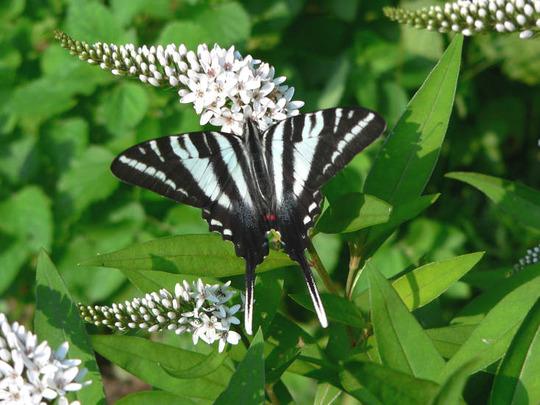 Zebra Swallowtail On Gooseneck Loosestrife (Lysimachia clethroides (Lysimachia))