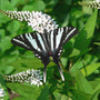 Zebra Swallowtail On Gooseneck Loosestrife (Lysimachia clethroides (Lysimachia))