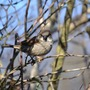 Sparrow in Lilac tree
