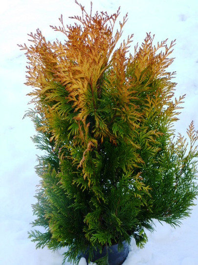Conifer ..   Thuja occidentalis  '  Yellow Ribbon '