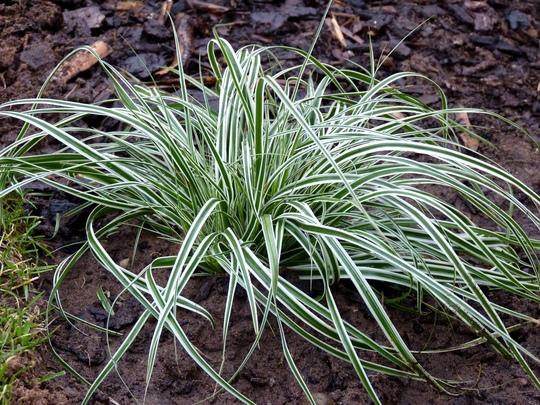 Carex oshimensis 'Everest Fiwhite' (Carex oshimensis (Sedge))