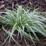 Carex oshimensis 'Everest Fiwhite' (Carex oshimensis (Sedge))