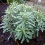 Euphorbia Characias 'Silver Swan' - Spurge (Euphorbia characias (Spurge))