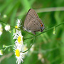 Hickory Hairstreak (Erigeron annuus (Einjahriges Berufskraut))