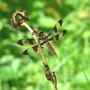 Dragonfly_common_whitetail_female_7_02_08_exc_sm