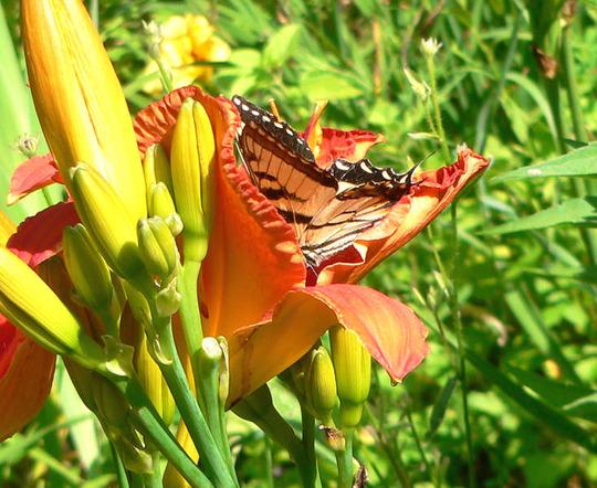 Flying Flower in a Flower (Hemerocallis)
