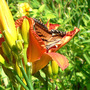 Flying Flower in a Flower (Hemerocallis)