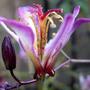 Tricyrtis Tapei Silk