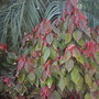 Acalypha wilkesiana 'Macafeana' - Copper Leaf Shrub (Acalypha wilkesiana 'Macafeana' - Copper Leaf Shrub)