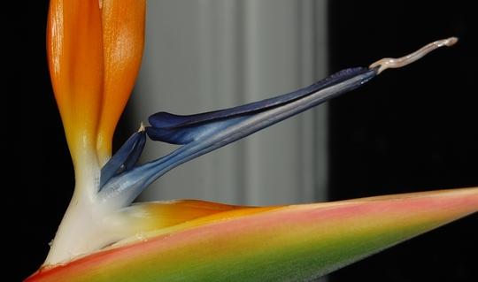 Bird of Paradise (Strelitzia reginae (Bird of paradise))