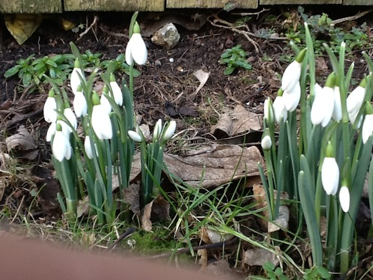 Snowdrops flowering... (Galanthus elwesii (Snowdrop))