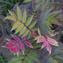 Sorbaria Sorbarifolia Sem (Sorbaria Sorbarifolia Sem)