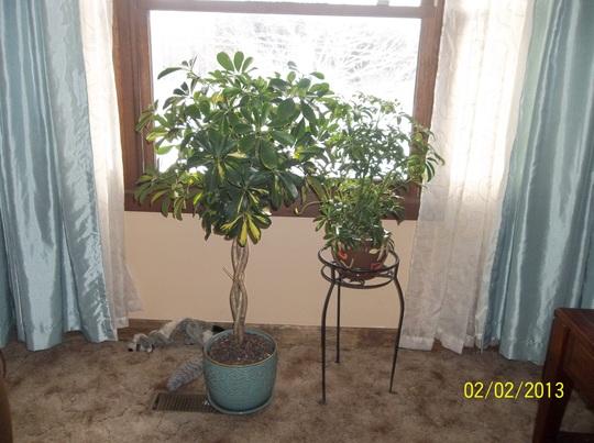 Umbrella Plants