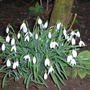 Snowdrops_and_brighton_002