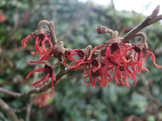 Hamamelis x intermedia 'Rubin' (Hamamelis x intermedia (Witch hazel))