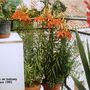 Tiger Lilies on balcony in Cuenca 1991 (lilium (Tiger Lily))