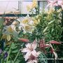 Lilies on balcony in Cuenca 1990 (Lilium)