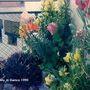 Flowers on balcony in Cuenca 1990 (Lilium)