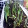 Daffodils showing buds on balcony 30-01-2013 001 (Daffodil)