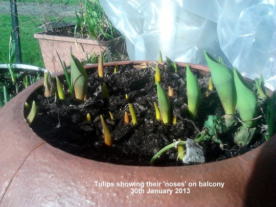 Tulips showing their noses on balcony 30-01-2013 (Tulipa polychroma)