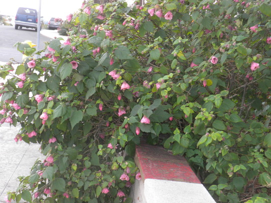 Abutilon Flowering (Abutilon)