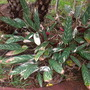 Ctenanthe oppenheimiana 'Tricolor' - Never-Never Plant (Ctenanthe oppenheimiana 'Tricolor' - Never-Never Plant)