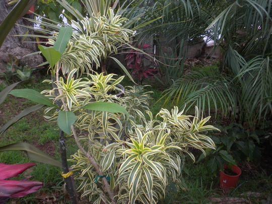 Dracaena reflexa variegata  'Song of India' (Dracaena reflexa variegata  'Song of India')