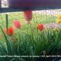 Darwin_tulips_mixed_colours_on_balcony_11_04_2012_001