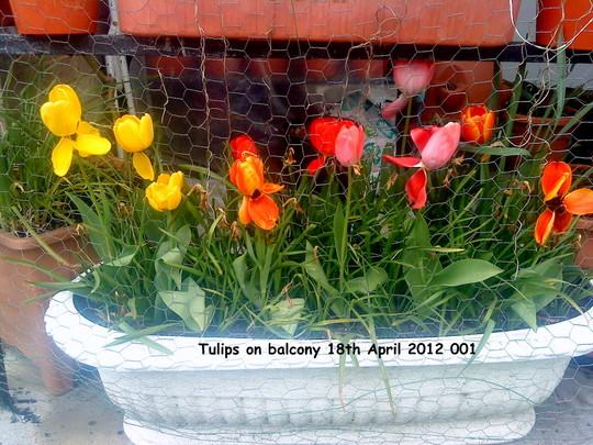 Tulips on balcony 18th April 2012 001 (Tulipa polychroma)